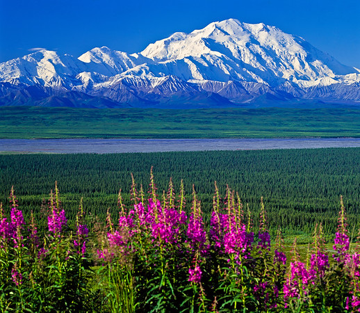 Mount McKinley (Denali) on a clear blue sky day with fireweed in the foreground overlooking a glacier river bed in early summer in denali National Park and Reserve, Alaska, USA