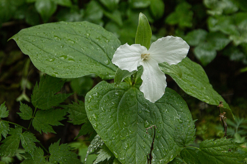 White Trillium with Raindrops