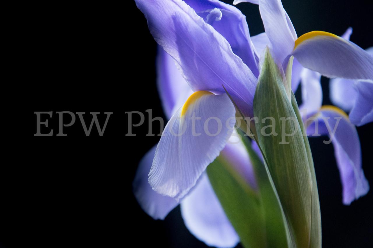 Irises XI