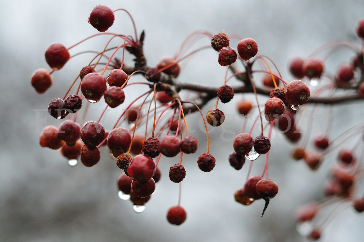 Winter Berries II