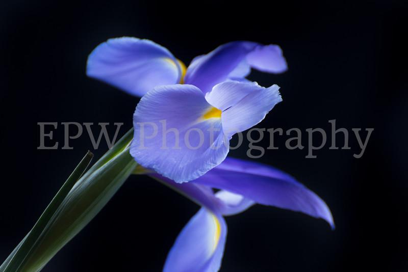 Irises VII
