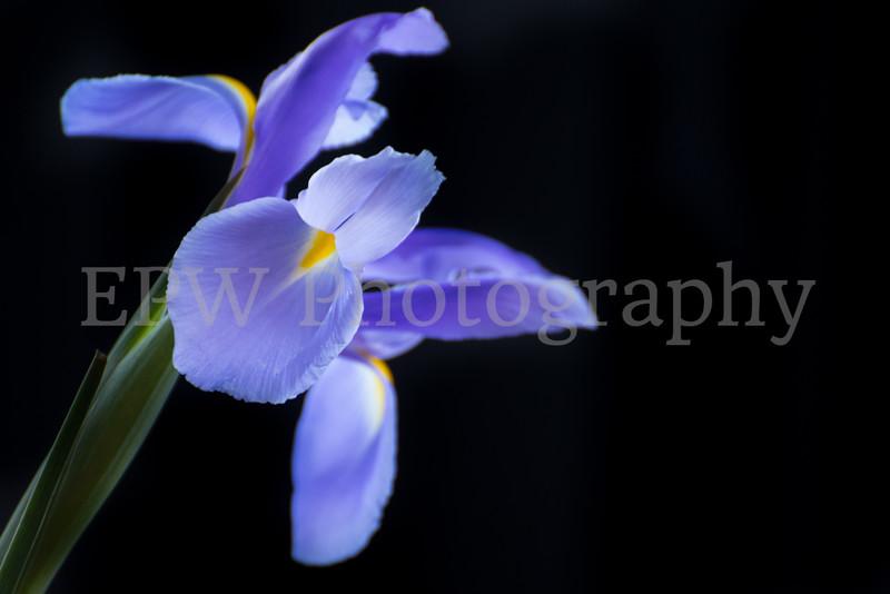 Irises VIII