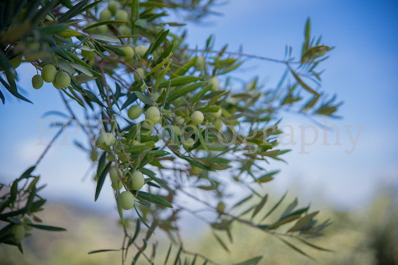 Fratelli Colleti Olive Tree I
