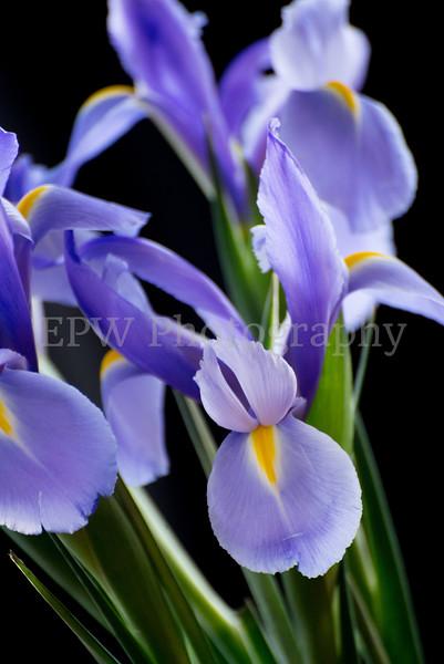 Irises IX