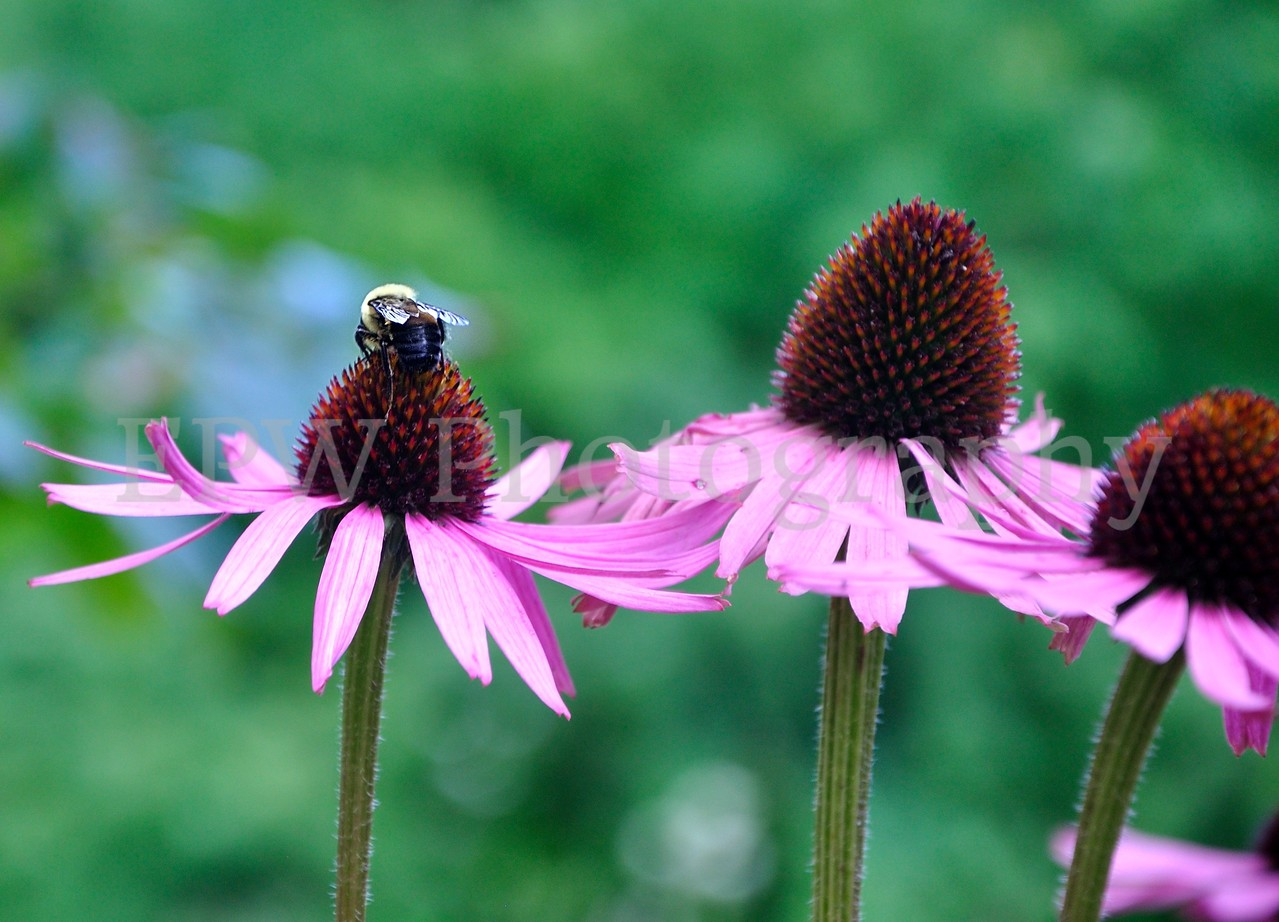 Coneflowers & Bee
