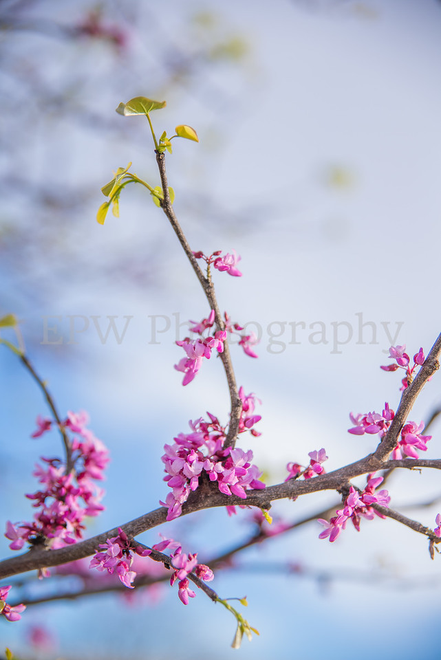 Red Buds II