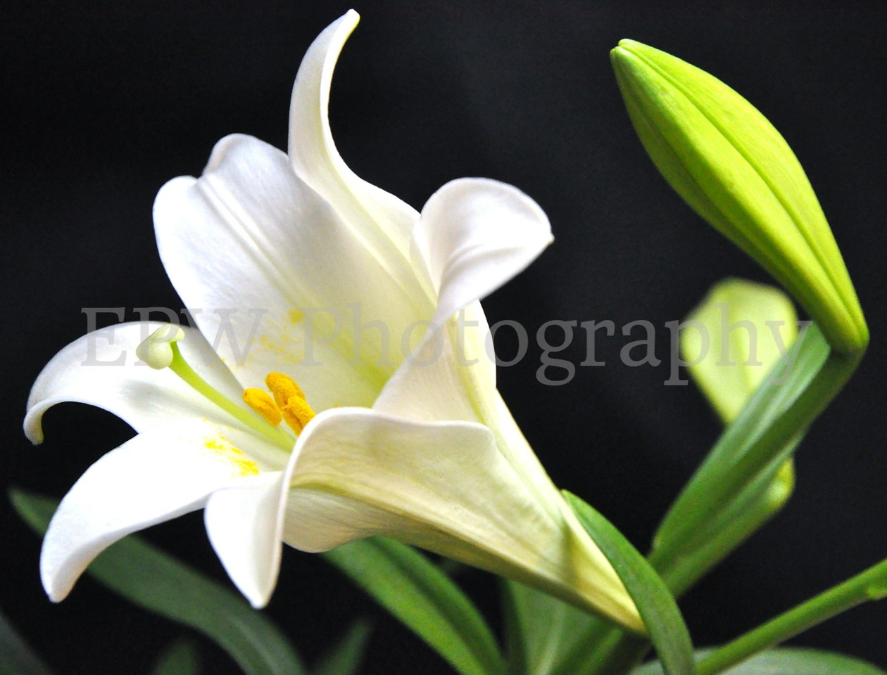 Easter Lily III