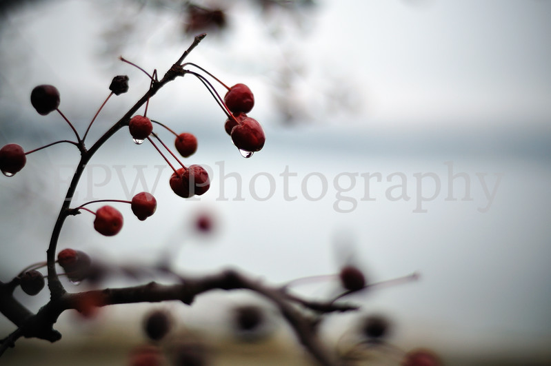 Winter Berries I