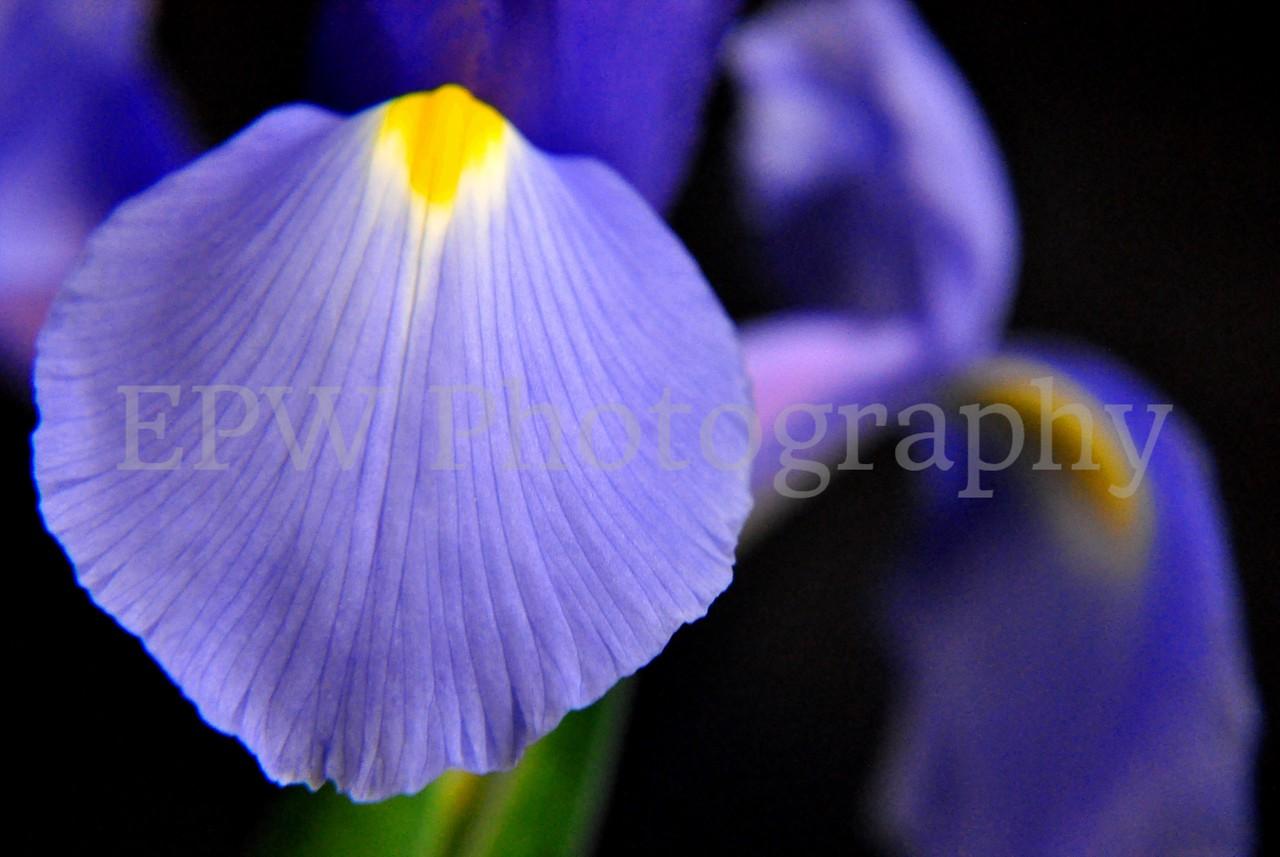 Irises XII