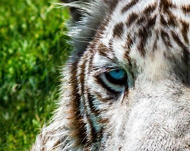 White Tiger4 (2)