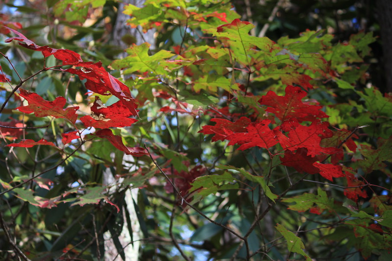 Red Leaves Among the Green