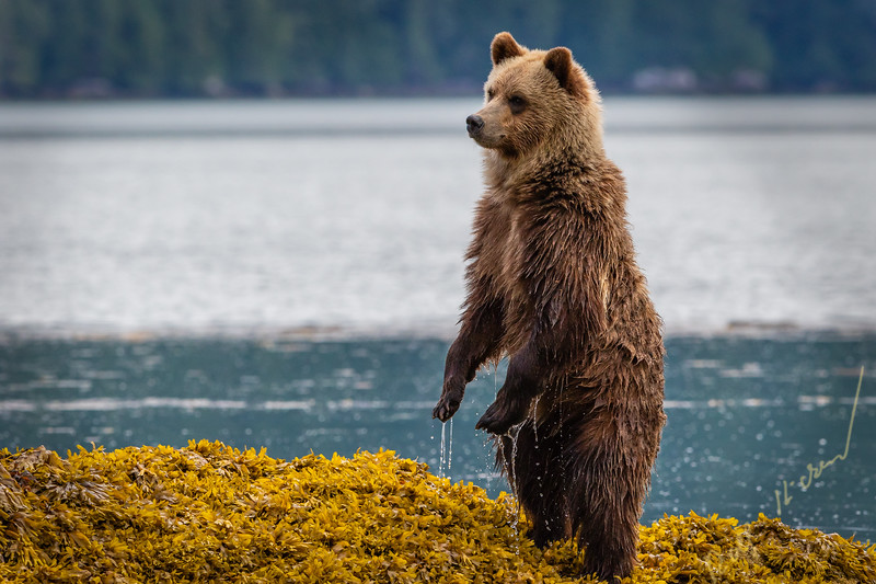 Cute grizzly bear cub standing up in sea weed looking for mom along the shoreline in Knight Inlet at low tide, First Nations Territory, British Columbia, Canada.