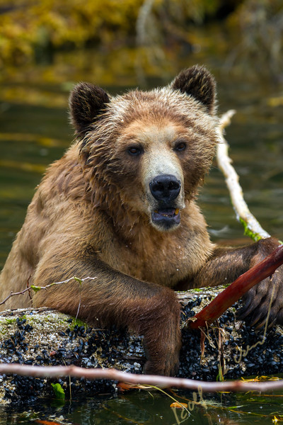 Grizzly bear female playing with a dead tree in the water, along Pacific coast in Glendale Cove, Knight Inlet, British Columbia, Canada.