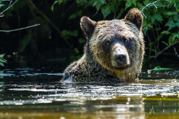 Coastal grizzly bear (Ursus arctos), swimming in Glendale Cove, Knight Inlet, British Columbia, Canada.