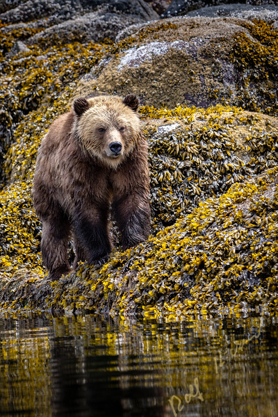 Grizzly bear foraging at low tide along the tideline in Knight Inlet, First Nations Territory, British Columbia, Canada