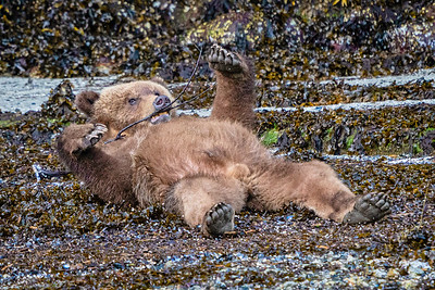 Cute looking grizzly bear cub sitting half asleep, shortly after hibernation, playing with a stick at low tide in Knight Inlet, First Nations Territory, British Columbia, Canada.