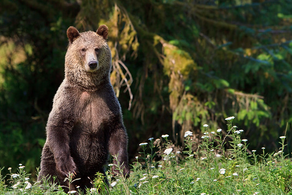 Coastal grizzly bear standing (Ursus arctos) at Glendale Cove, Knight Inlet, British Columbia, Canada.