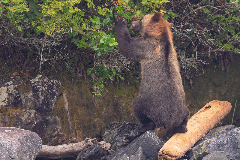 Grizzly bear standing on a log eating berries along the Knight Inlet shoretime, First Nations Territory,British Columbia, Canada.