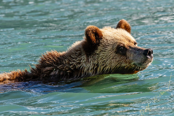Young grizzly bear swimming along the Great Bear Rainforest shoreline, First Nations Territory, British Columbia, Canada.
