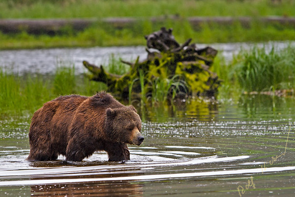 Coastal Grizzly bear searching for food at low tide on the British Columbia Mainland, Canada