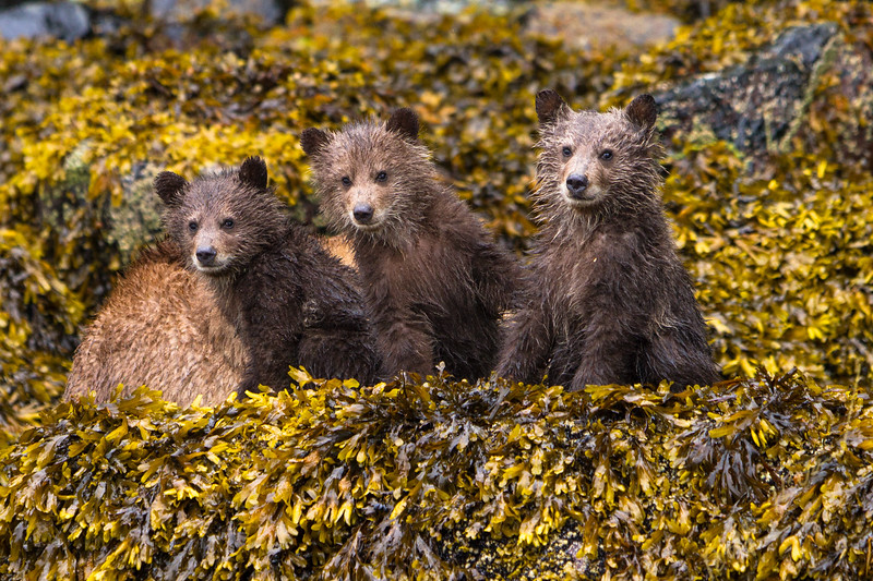 Three Grizzly bear cubs sitting along the shore in sea weed, Knight Inlet, British Columbia, Canada