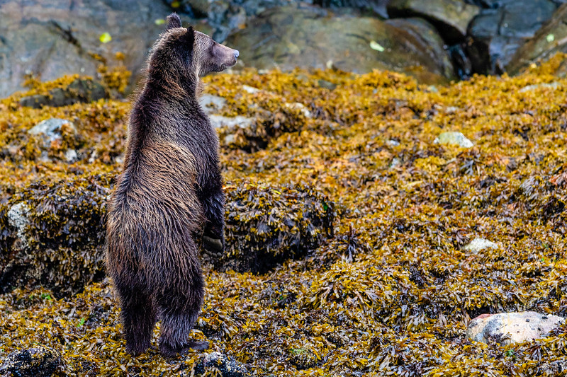 Coastal grizzy bear stabding on its hind legs along the low tide line in Knight Inlet, First Nations Territory, British Columbia, Canada.