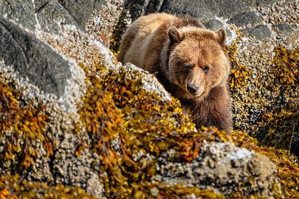 grizzly bear walking along the low tide line in Knight Inlet, First Nations Territory, Great Bear Rainforest, British Columbia, Canada.