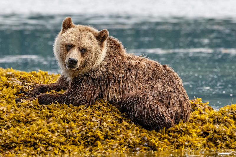 Grizzly bear cub resting in sea weed along the Knight Inlet shoreline during low tide, First Nations Territory, British Columbia, Canada.