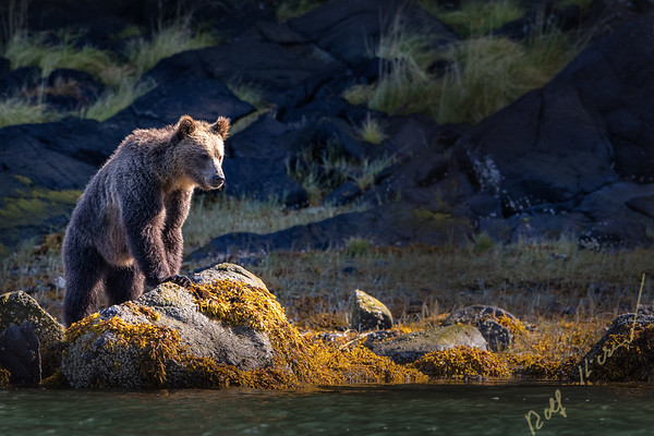 Grizzly bear foraging along the low tide line close to the water, Great Bear Rainforest, Knight Inlet, British Columbia, Canada.