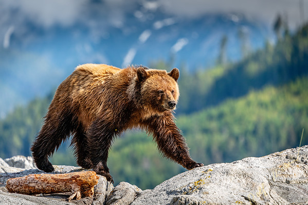 Grizzly bear walking on a small island in beautiful Knight Inlet, First Nations Territory, Great Bear Rainforest, British Columbia, Canada.