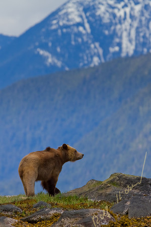 Grizzly bear in front mountains in Knight Inlet, British Columbia, Canada
