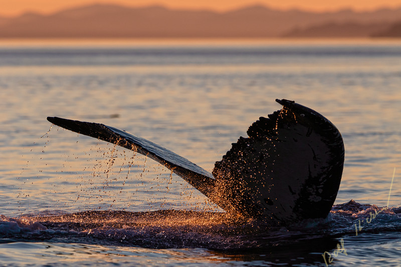 Water is dripping off a humpback whale's fluke during sunset in the Broughton Archipelago, First Nations Territory, British Columbia, Canada