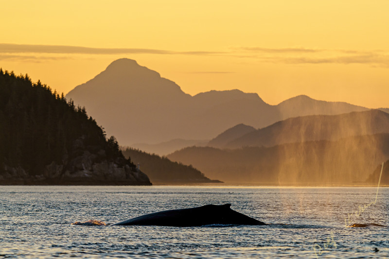 Humpback whales (Megaptera novaaeangliae) in Blackfish Sound, First Nations Territory, British Columbia, Canada