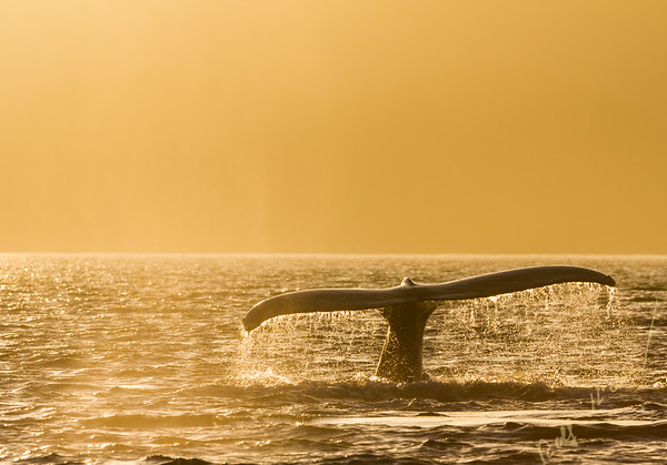 Humpback Whale fluking during a foggy sunset, Queen Charlotte Sound, British Columbia, Canada