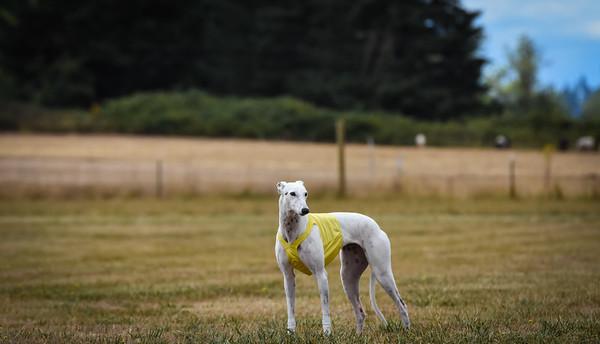 greyhound-24