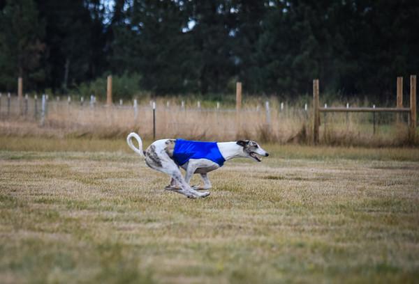 greyhound-22