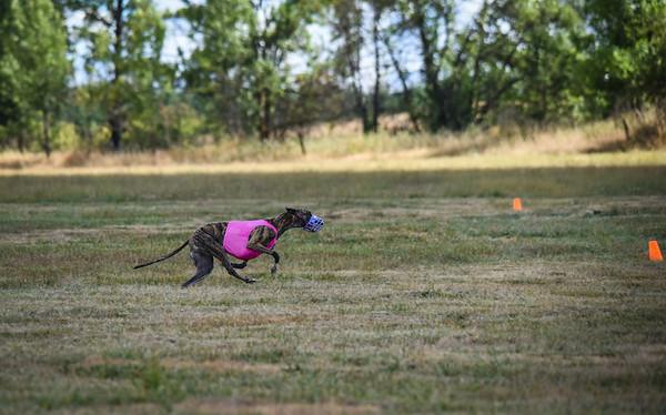 greyhound-18