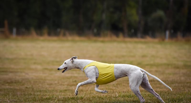 greyhound-25
