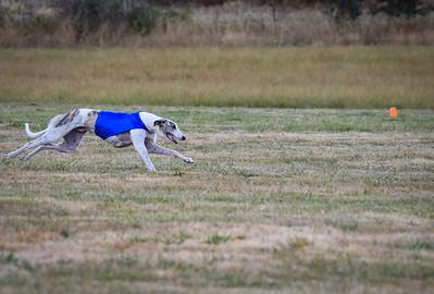 greyhound-17