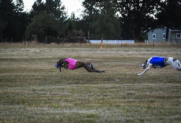 greyhound-12