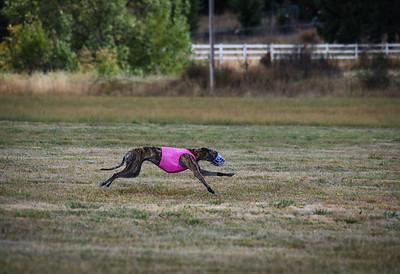 greyhound-21