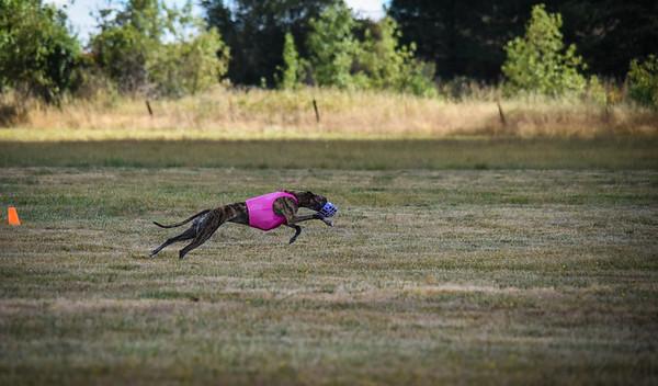 greyhound-19