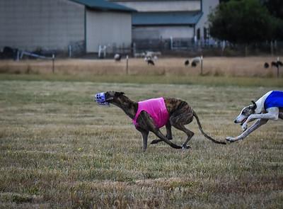 greyhound-6