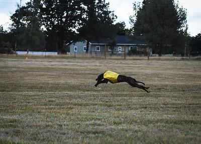 greyhound-10