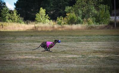 greyhound-20