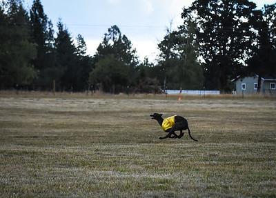 greyhound-11