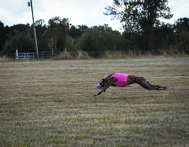 greyhound-9