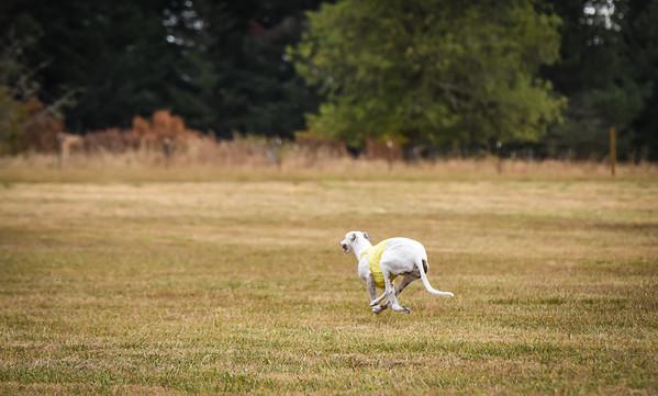 greyhound-26