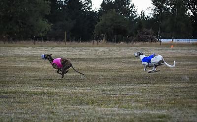 greyhound-13