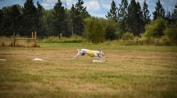 greyhound-29